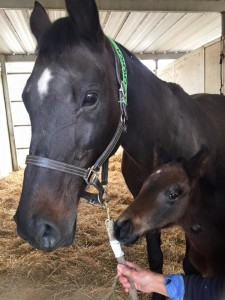 horse and foal at Brazeau thoroughbred farms